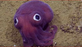 After World Cutest Frog – Now Googly-eyed Stubby Squid!